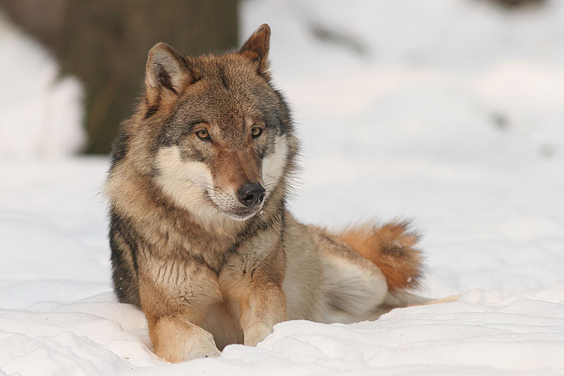 Wolf (Foto: Bernard Landgraf, cc by-sa 3.0, http://commons.wikimedia.org/wiki/File:Canis_lupus.jpg?uselang=de)